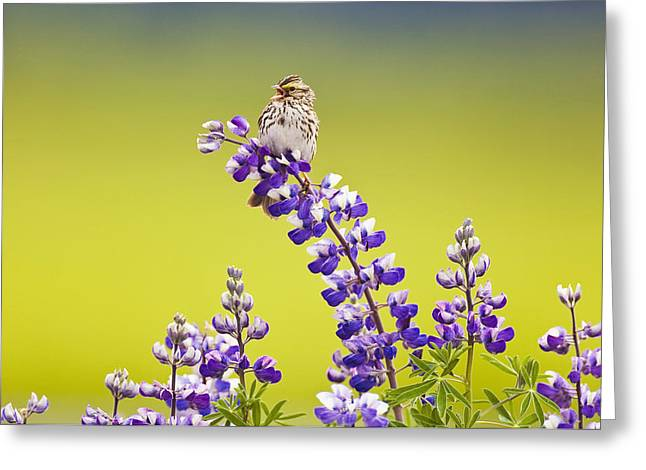 Portage Greeting Cards - A Savannah Sparrow Singing While Perch Greeting Card by Brian Guzzetti