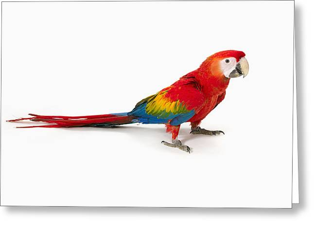 Scarlet Macaw Greeting Cards - A Scarlet Macaw Parrot On White Greeting Card by Corey Hochachka