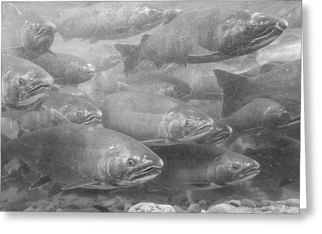 Coho Salmon Greeting Cards - A School of Silvers in Black and White Greeting Card by Tim Grams