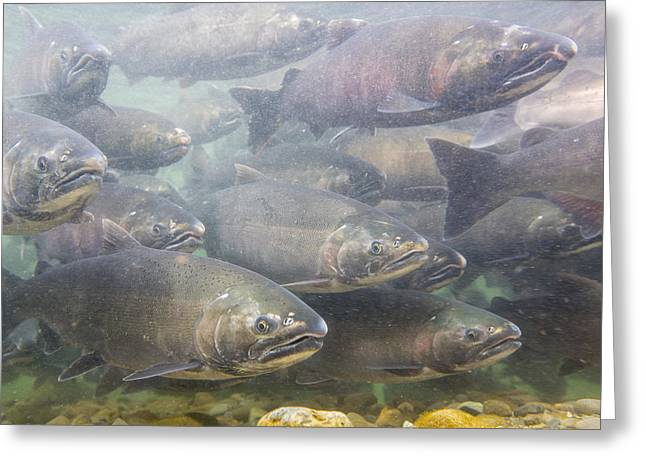 Coho Salmon Greeting Cards - A School of Silvers Greeting Card by Tim Grams