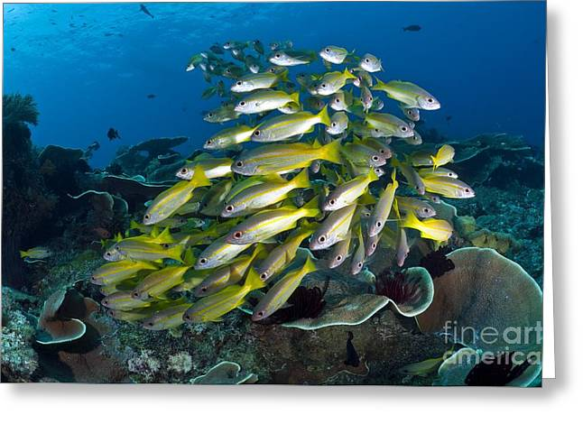Snapper Greeting Cards - A School Of Snappers, Misool, West Greeting Card by Matthew Oldfield