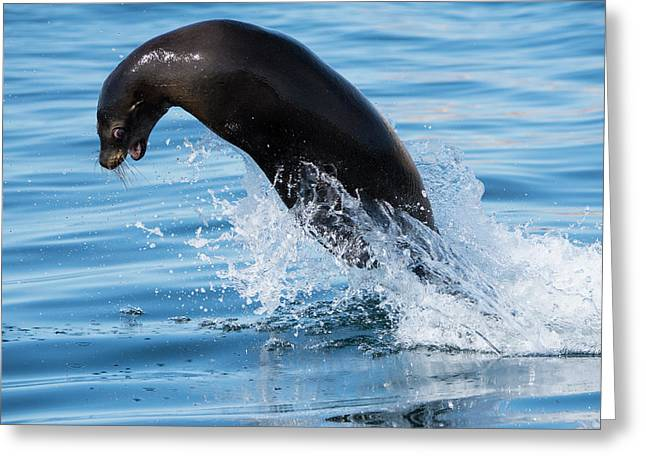 A Sea Lion Jumping Greeting Card by Michael Melford