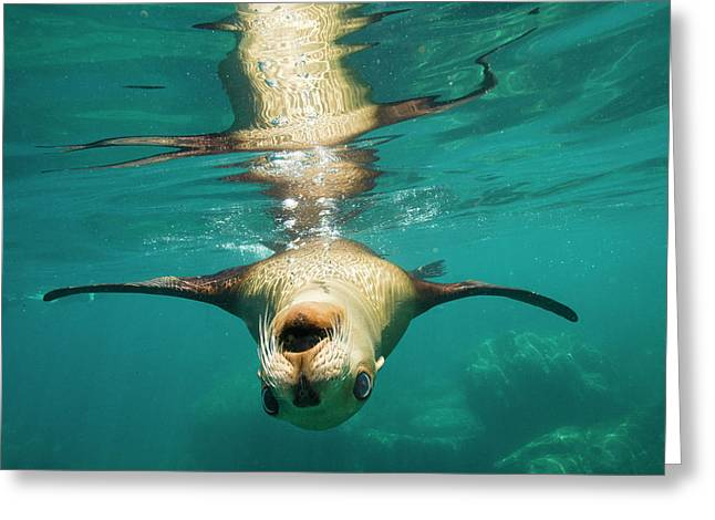 A Sea Lion Swimming Off Isla Los Greeting Card by Michael Melford