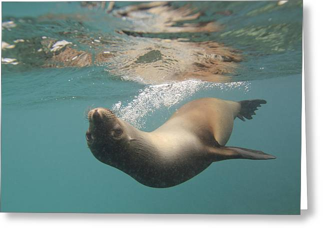 Recently Sold -  - Reflection In Water Greeting Cards - A Sea Lion Swimming Under The Waters Greeting Card by Keith Levit