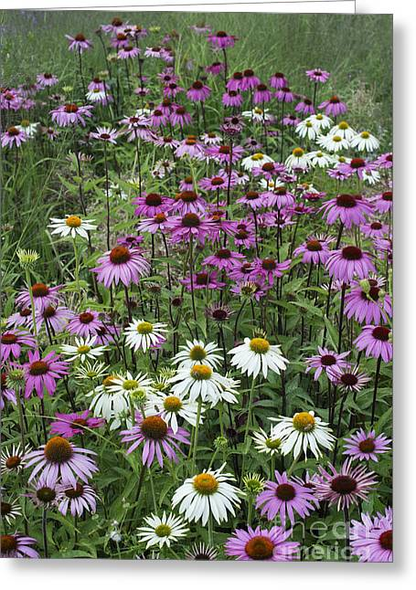 Ornamental Plants Greeting Cards - A Sea of Echinacea  Greeting Card by Tim Gainey