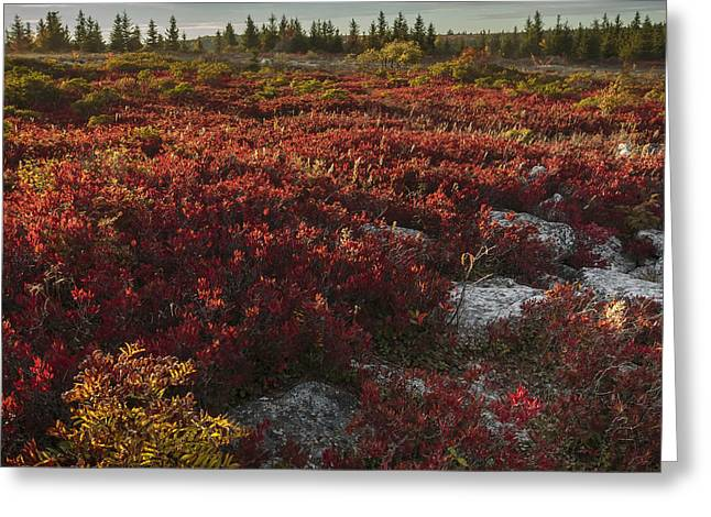 Dolly Sods Wilderness Greeting Cards - A Sea of Red Greeting Card by Jennifer Grover