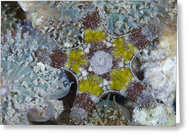 Asteroidea Greeting Cards - A sea star in the Maldives Greeting Card by Science Photo Library