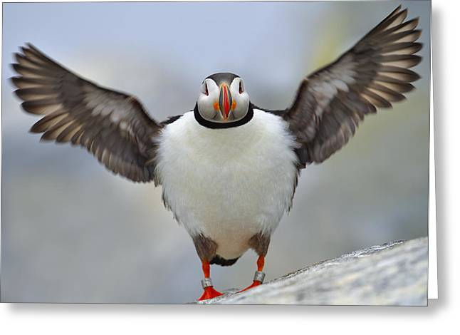 Atlantic Puffin Greeting Cards - A Seaside Breeze Greeting Card by Tony Beck