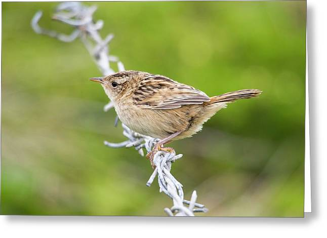 A Sedge Wren Or Grass Wren Greeting Card by Ashley Cooper