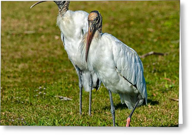Entourage Greeting Cards - A Serious Woodstork Greeting Card by John Bailey