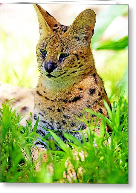 White Serval Greeting Cards - A Serval in the Grass Greeting Card by Evan Peller