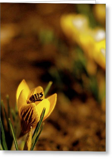Crocus Greeting Cards - A Sign of Spring Greeting Card by Rona Black