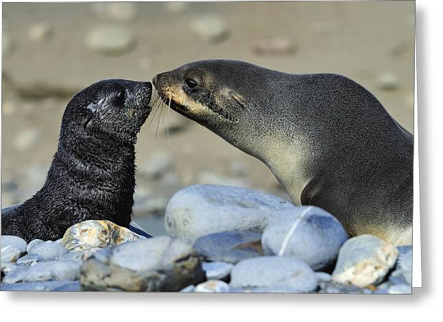 Sea Lions Greeting Cards - A Simple Little Sniff Greeting Card by Tony Beck
