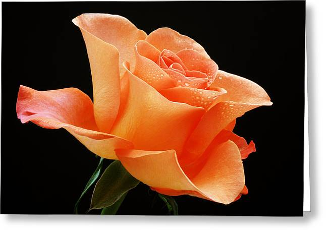 First Love Greeting Cards - A Single Bloom 1 Greeting Card by Wendy Wilton