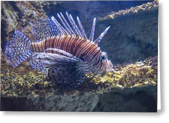 Sea Creature Pictures Greeting Cards - A Single Lion Fish Swimming Greeting Card by Chris Flees