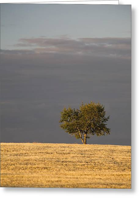Alberta Prairie Landscape Greeting Cards - A Single Tree In A Golden Field Greeting Card by Michael Interisano