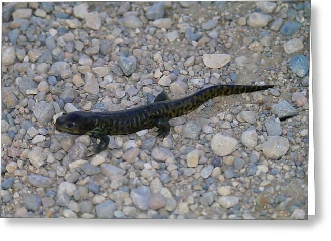 Salamander Greeting Cards - A Slow Salamander  Greeting Card by Jeff  Swan