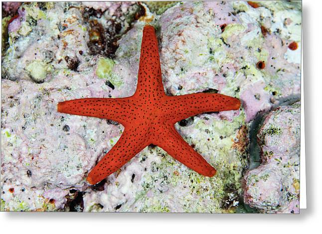 A Small, Red Starfish Clings Greeting Card by Ethan Daniels