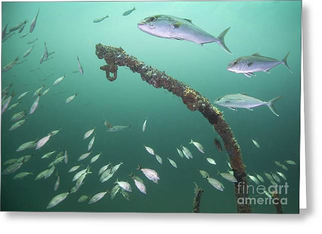 A Small School Of Greater Amberjack Greeting Card by Michael Wood