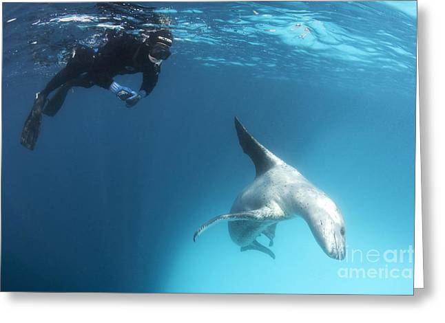 Recently Sold -  - Snorkel Greeting Cards - A Snorkeller Encounters A Leopard Seal Greeting Card by Steve Jones