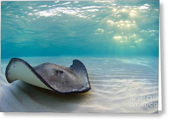 Southern Stingrays Greeting Cards - A Southern Stingray Greeting Card by Alex Mustard