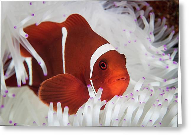 A Spine-cheeked Anemonefish Swims Among Greeting Card by Ethan Daniels