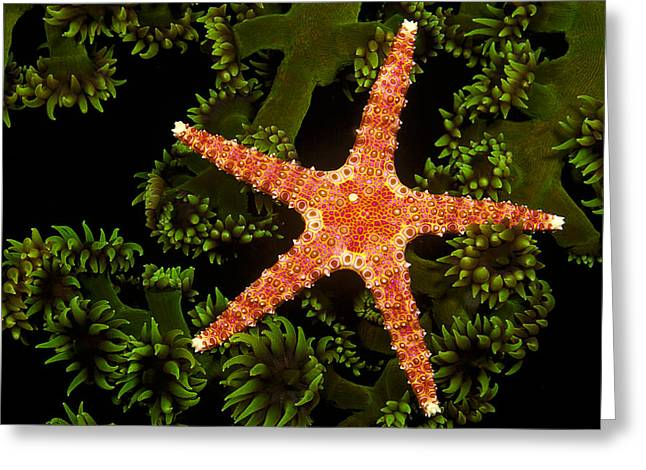 Orange Starfish Greeting Cards - A spiny sea star _Gomophia egeria_ on a colony of green tube coral _Tubastrea micrantha_ at night_ Fiji Islands Greeting Card by Dave Fleetham
