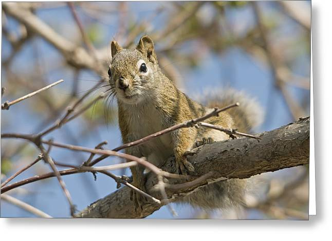 Critters Greeting Cards - A Squirrel In A Tree Edmonton Alberta Greeting Card by Jim Julien