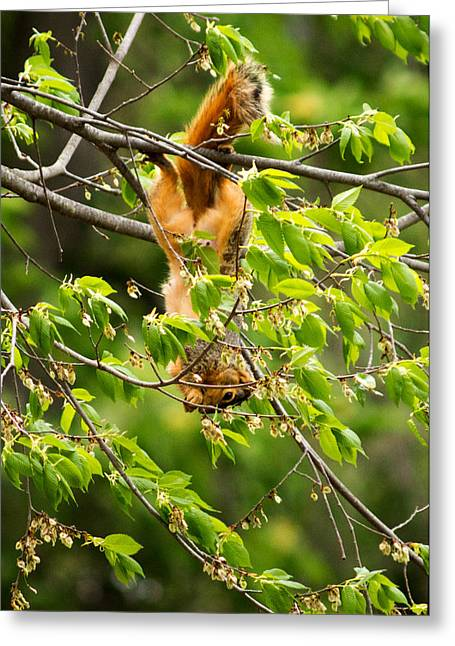 West Fork Greeting Cards - A Squirrely Day Greeting Card by Howard Tenke