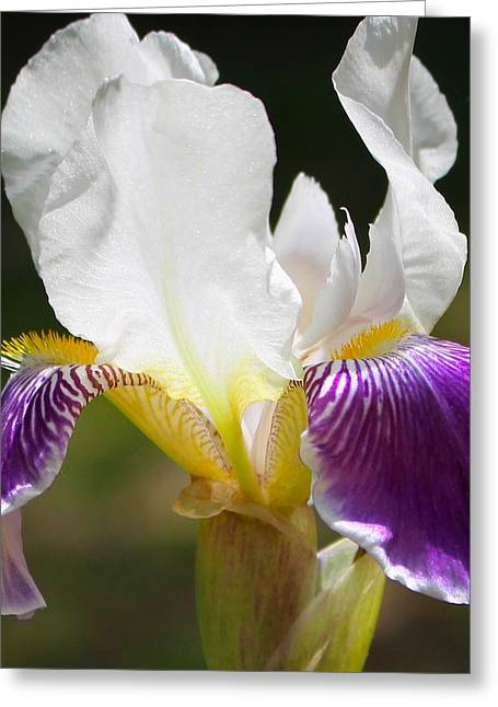 Effervescent Greeting Cards - A Sublime Iris Flower Greeting Card by Sylvia Herrington