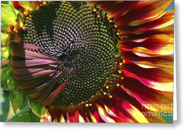 Yellow Sunflower Digital Greeting Cards - A Sunflower For the Birds Greeting Card by Sharon  Talson