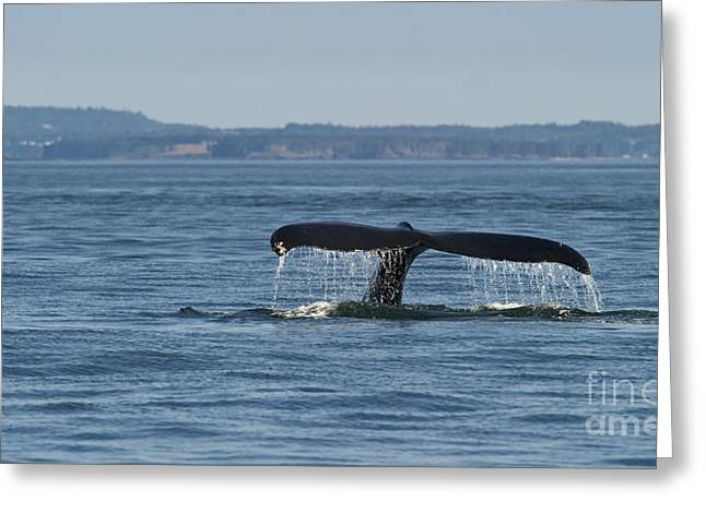 Ocean Mammals Greeting Cards - A Tail for its Fluke... Greeting Card by Nina Stavlund
