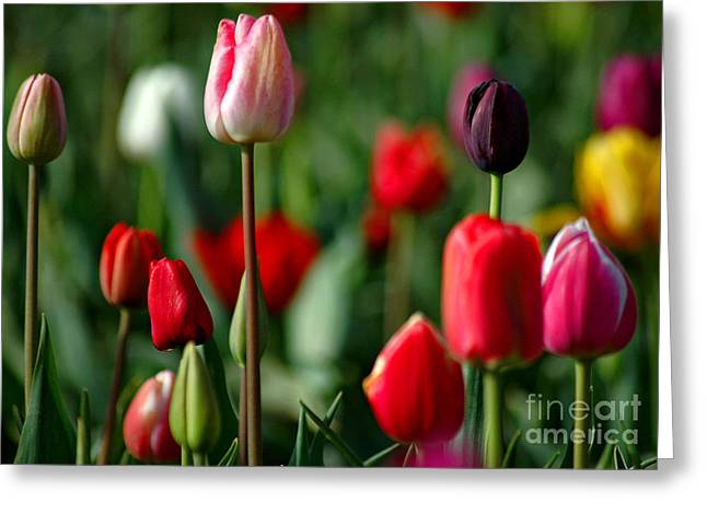 Bloosom Greeting Cards - A Tapestry Of Tulips Greeting Card by Nick  Boren