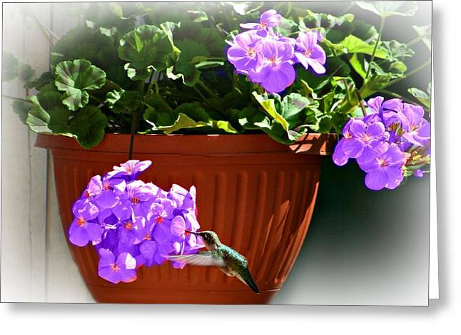 Hovering Greeting Cards - A Taste Of Geraniums Greeting Card by Barbara S Nickerson