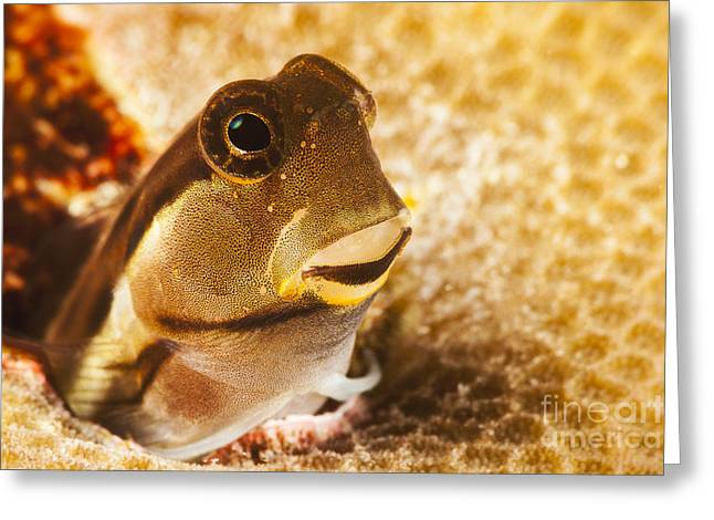 Yap Greeting Cards - A tiny combtooth blenny, Ecsenius sp, emerges from a hole in hard coral off the Island of Yap_ Micronesia Greeting Card by Dave Fleetham