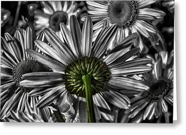 Herbage Greeting Cards - A Touch of Daisy Greeting Card by Mountain Dreams