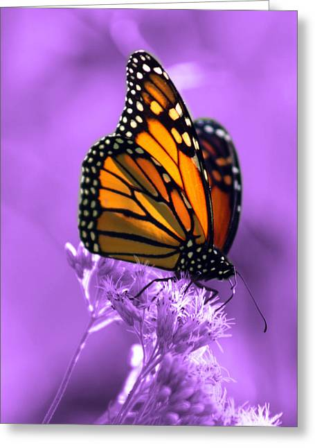 Monarch Greeting Cards - A Touch of Summer  Greeting Card by Cathy  Beharriell