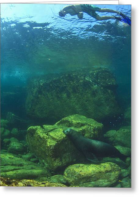 California Sea Lions Greeting Cards - A Tourist Swims Underwater With A Sea Greeting Card by Stuart Westmorland