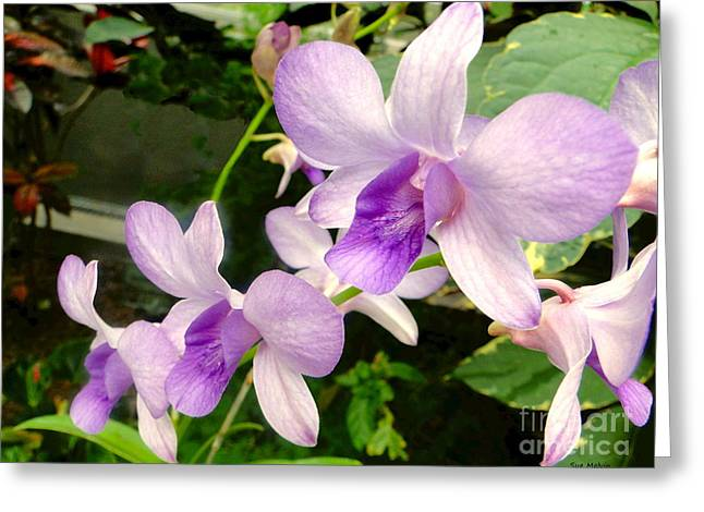 Cattleya Greeting Cards - A Trio of Pale Purple Orchids Greeting Card by Sue Melvin