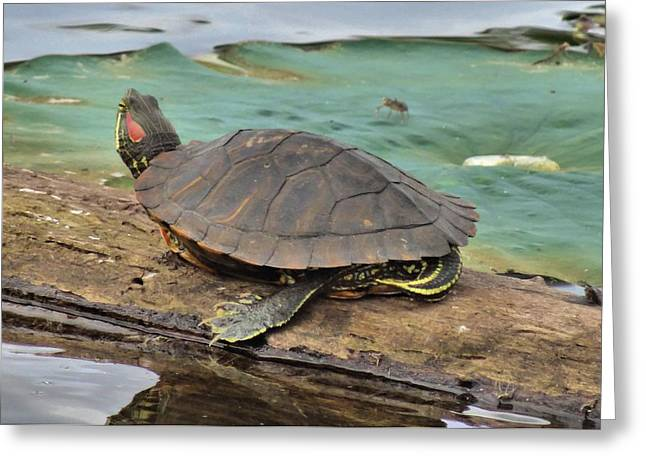 Turtle Shell Greeting Cards - A Turtles Life Greeting Card by Dan Sproul