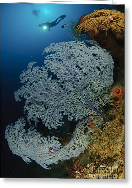 Gorontalo Greeting Cards - A Very Rare Blue Sea Fan, Gorontalo Greeting Card by Steve Jones