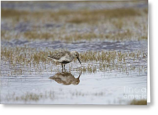Reflection In Water Greeting Cards - A Wading Dunlin Greeting Card by John Shaw