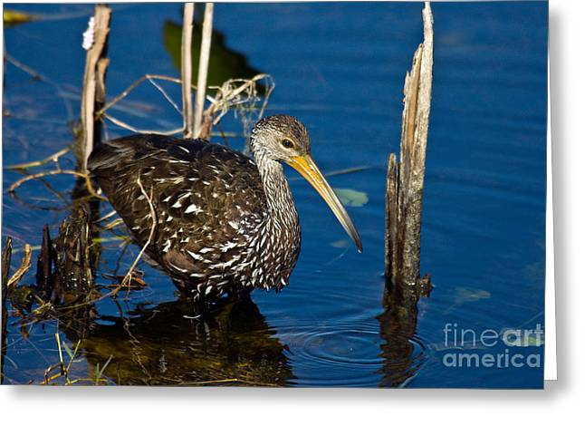 Carrao Greeting Cards - A Wading Limpkin Greeting Card by Mark Newman