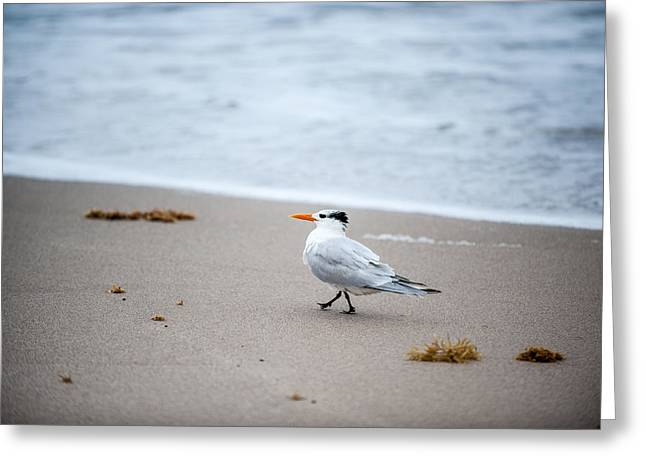 Sea Birds Greeting Cards - A Walk On The Beach Greeting Card by Paul Johnson