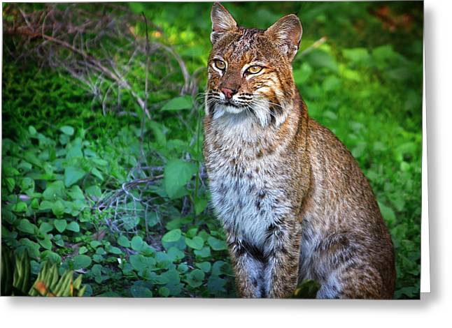 North American Bobcats Greeting Cards - A Watchful Eye Greeting Card by Mark Andrew Thomas