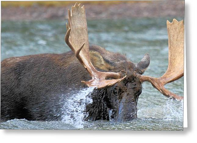 Moose In Water Greeting Cards - A Wet Rack Greeting Card by Adam Jewell