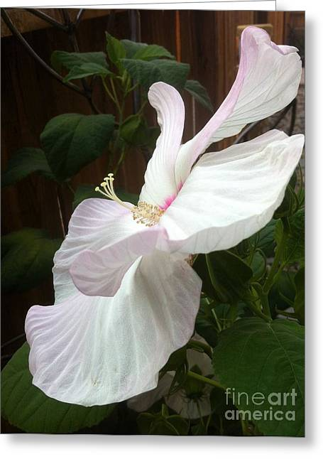 White Pyrography Greeting Cards - A White Hibiscus Greeting Card by Melody Ballard