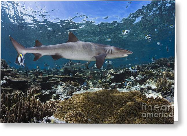 White Shark Greeting Cards - A whitetip reef shark _Triaenodon obesus_ cruises a shallow reef, with Blacktip reef sharks _Carcharhinus melanopterus_ seen in the background_ Fiji Greeting Card by Dave Fleetham