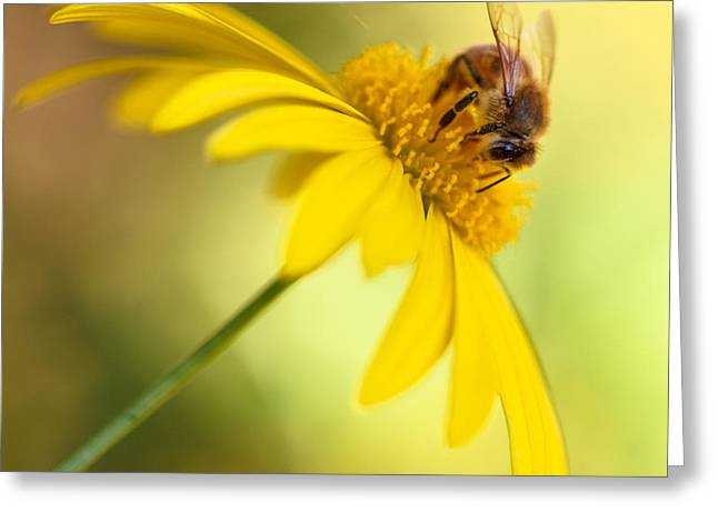 Honey Bee Greeting Cards - A Winter Summer Honey Bee Greeting Card by Constance Fein Harding