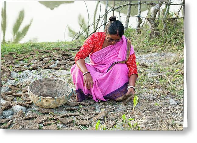 A Woman Collecting Dried Cow Dung Greeting Card by Ashley Cooper